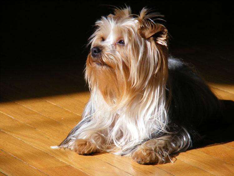 family dog yorkshire terrier